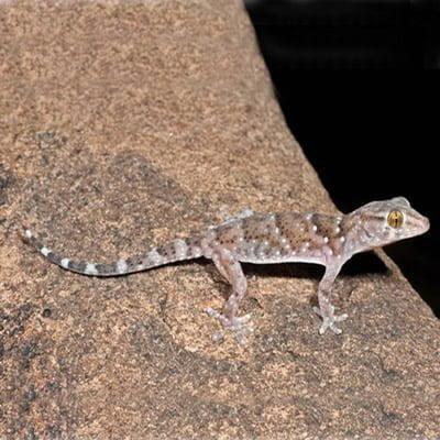 Gecko Bibron