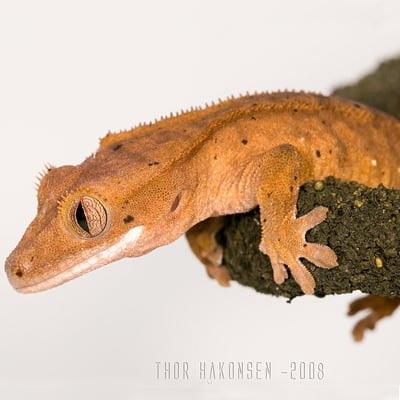Gecko cu creasta