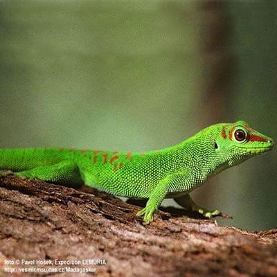 Gecko de zi