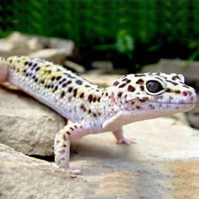Amenajare terariu Gecko
