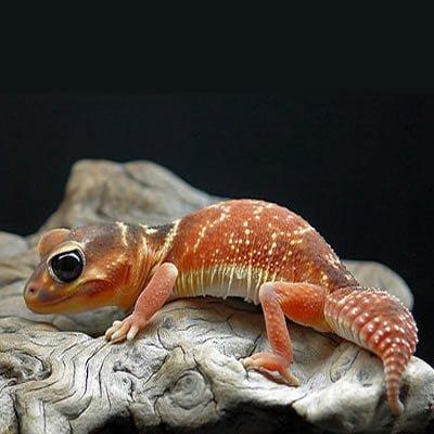 Gecko Levis