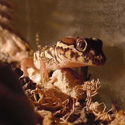 Gecko de pamant