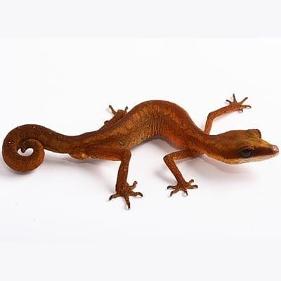 Gecko pisica