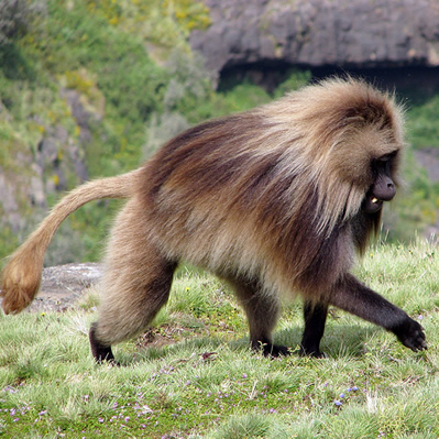Maimuta Gelada