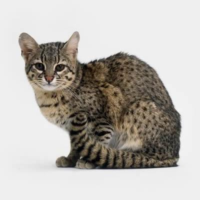 Pisica lui Geoffroyi