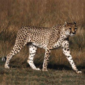 Ghepardul animal