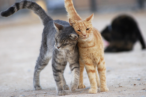 Ghid Imperechere pisici