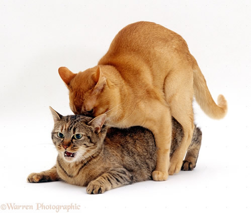 Imperecherea pisicilor