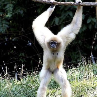 Maimuta Gibon