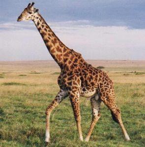 Girafa Giraffa camelopardalis