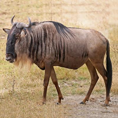 Antilopa Gnu