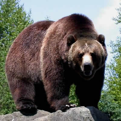 Ursul Grizzly