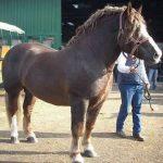 Calul italian de agricultura Italian Heavy-Draft
