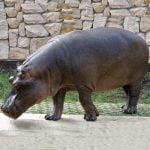 Hipopotamul animal