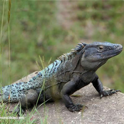 Iguana neagra
