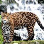 Jaguarul Panthera onca
