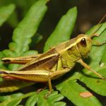 Lacusta insecta