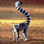 Lemur Lemur catta