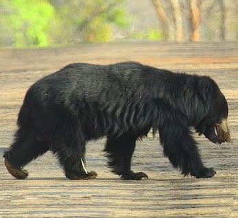 Ursul Lenes