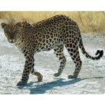 Leopardul