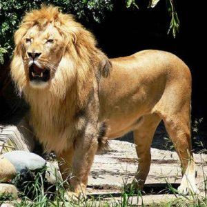Leul animal