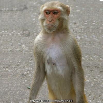 Maimuta Macac
