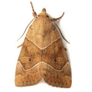 Molia insecta