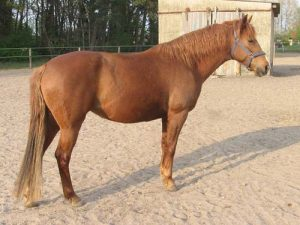 calul Moroccan Barb