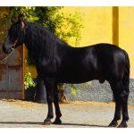calul Murgese