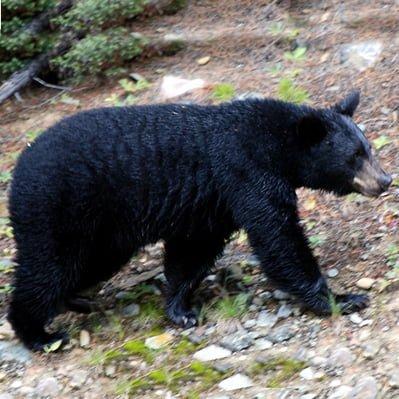 Ursul Negru American