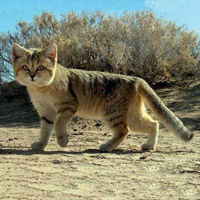 Pisica de nisip