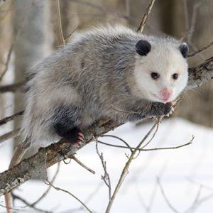 Opossum animal
