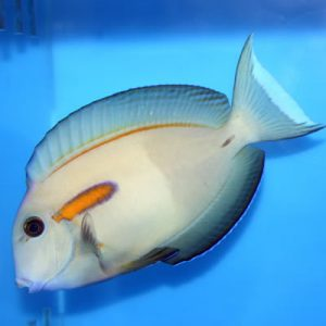 Peste Orange Surgeonfish