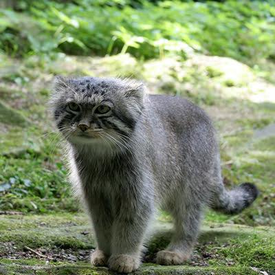Pisica Pallas
