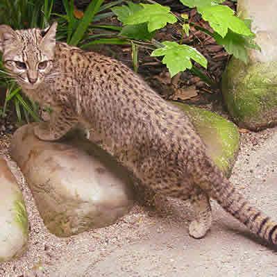 Pisica de Pampas