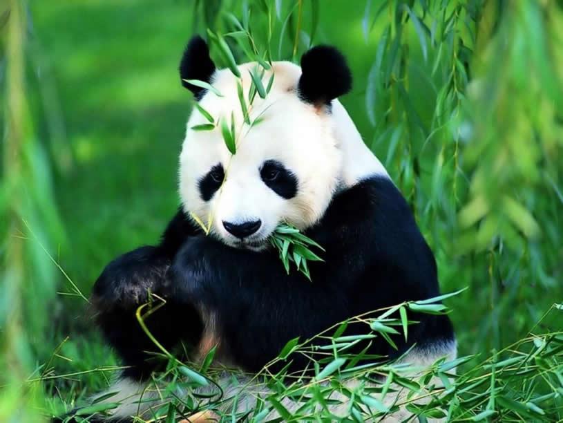 Ce mananca ursul panda | Toate Animalele