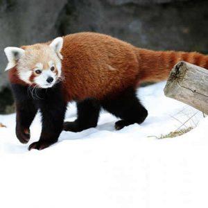 Panda Rosu Ailurus fulgens