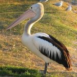Pelicanul pasare