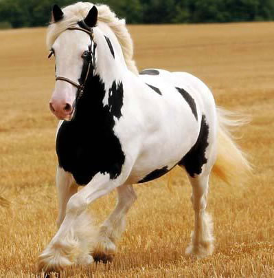 Calul Percheron