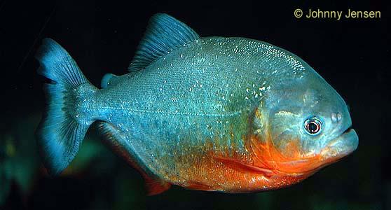 Piranha agresivi