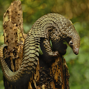 Pangolinul de Filipine