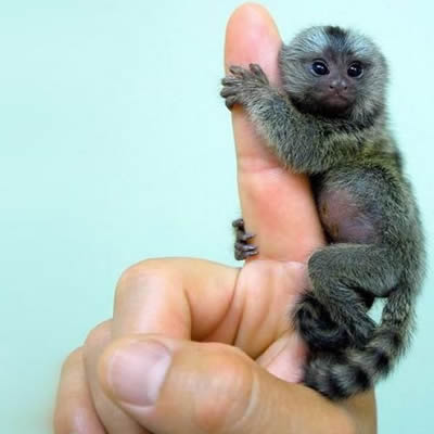 Maimuta Pigmeu