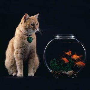 Pisica domestica