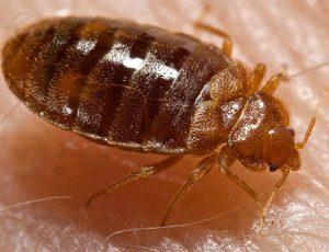 Plosnita insecta