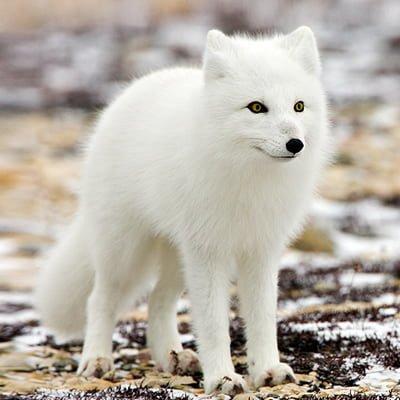 Vulpea polara