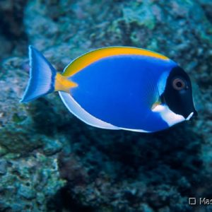 Powder Blue Tang fish