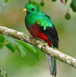 Quetzal pasare