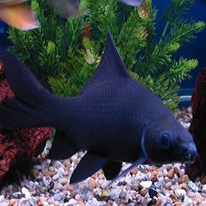 Rechinul Negru
