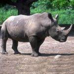 Rinocerul Diceros bicornis