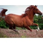Calul de sport romanesc